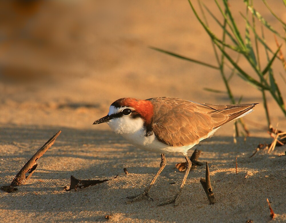 Red-Capped Plover by RedChevy