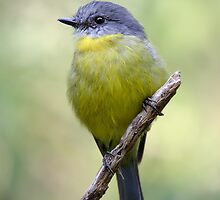 Eastern Yellow Robin by RedChevy