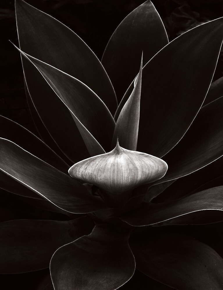 Agave #1 by Michael Dingley