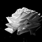 Rose in Black and White by John Butler
