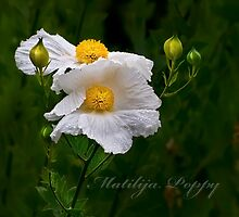 Matilija poppies by Celeste Mookherjee