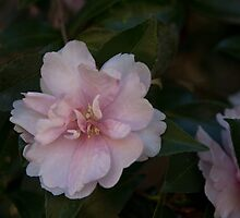 Pink Camellia in the fall  by KSKphotography