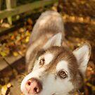 Husky 2 by Rebecca Cozart