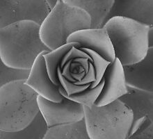 Black & white petals by Melani