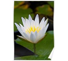 Pure, White Lotus Poster