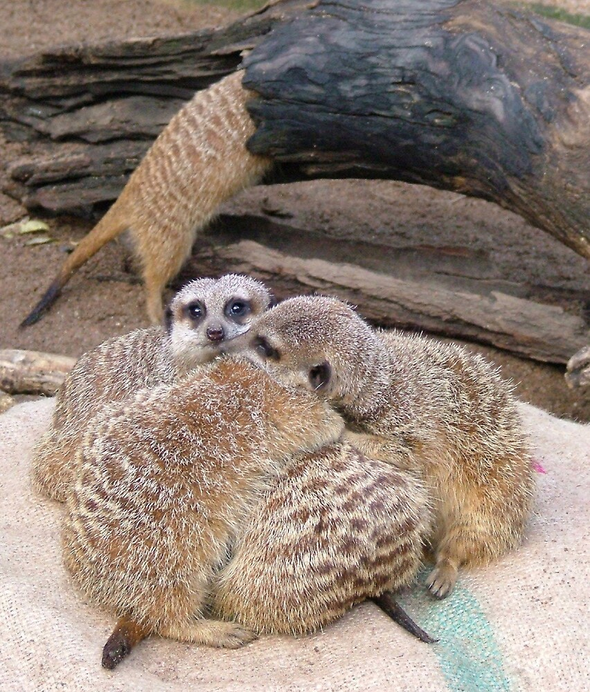 Meerkat Cuddles... by Lynn