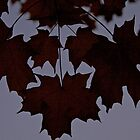Maple Silhouettes by John Butler