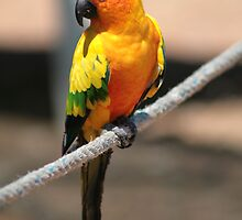 Sun Conure by Mark Baker