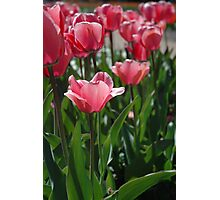 Pink tulips Photographic Print