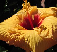 Yellow Hibiscus by MARNIE LOUANNE