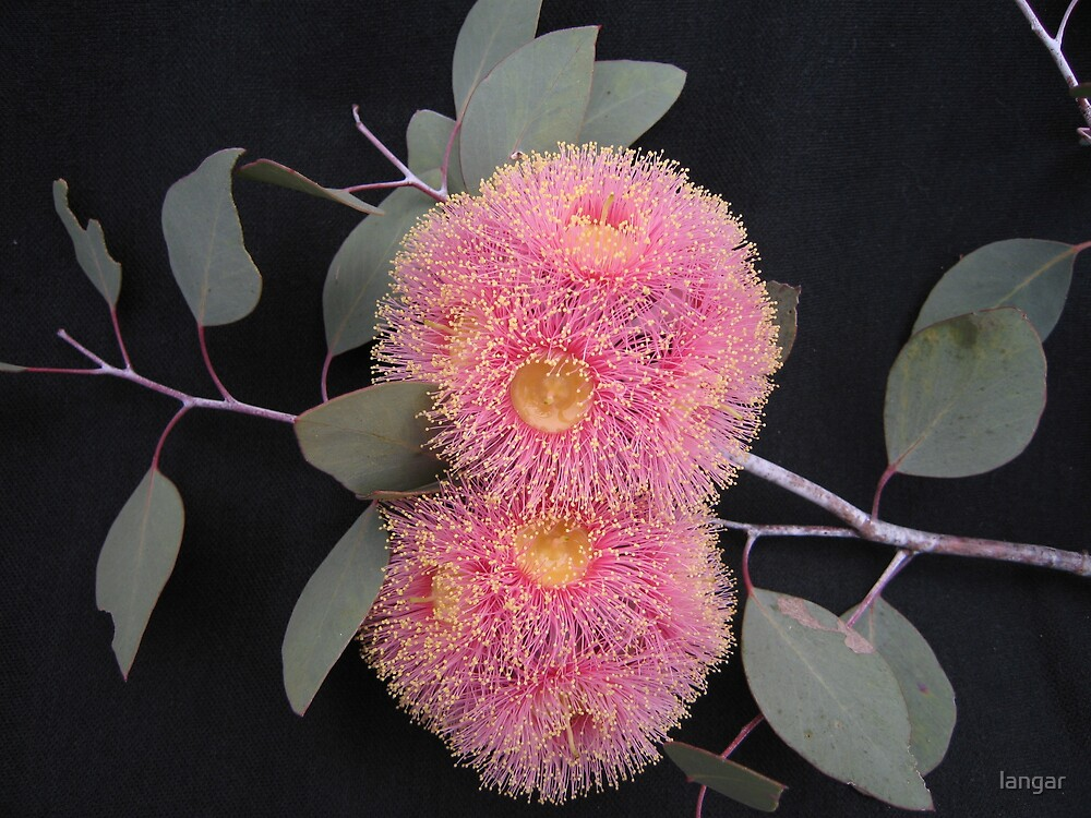 Flowering Gum by langar