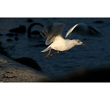 gull launch Photographic Print