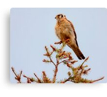 AMERICAN KESTREL ( 2) Canvas Print