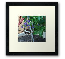 Guess who nibbled my lime tree leaves? Framed Print
