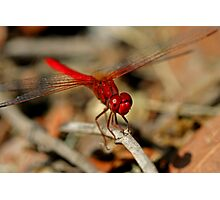 Red Dragonfly 11 Photographic Print