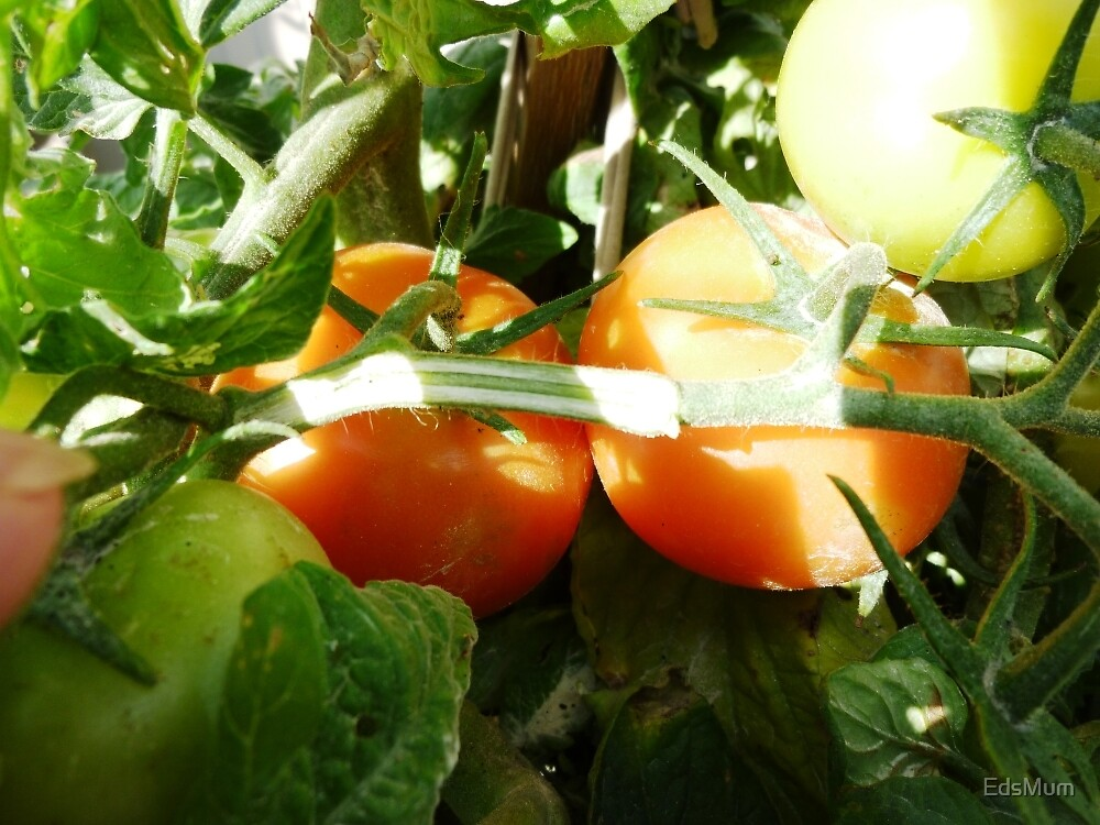 Ready to pick - Tomatoes  by EdsMum