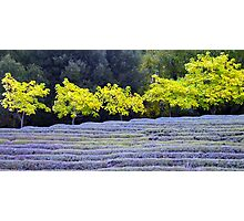 Lavender during fall Photographic Print