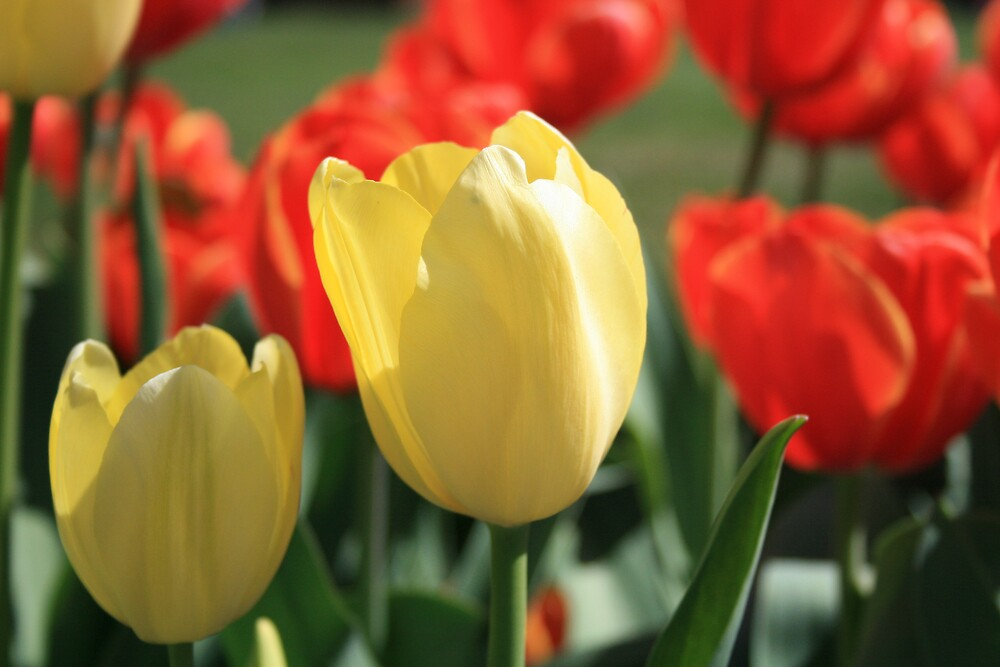 Tulips by JennyDiane