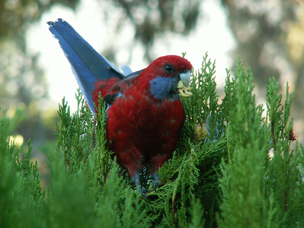 Rosella Feasting by revival