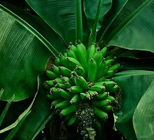 A Hand of Bananas by MotherNature