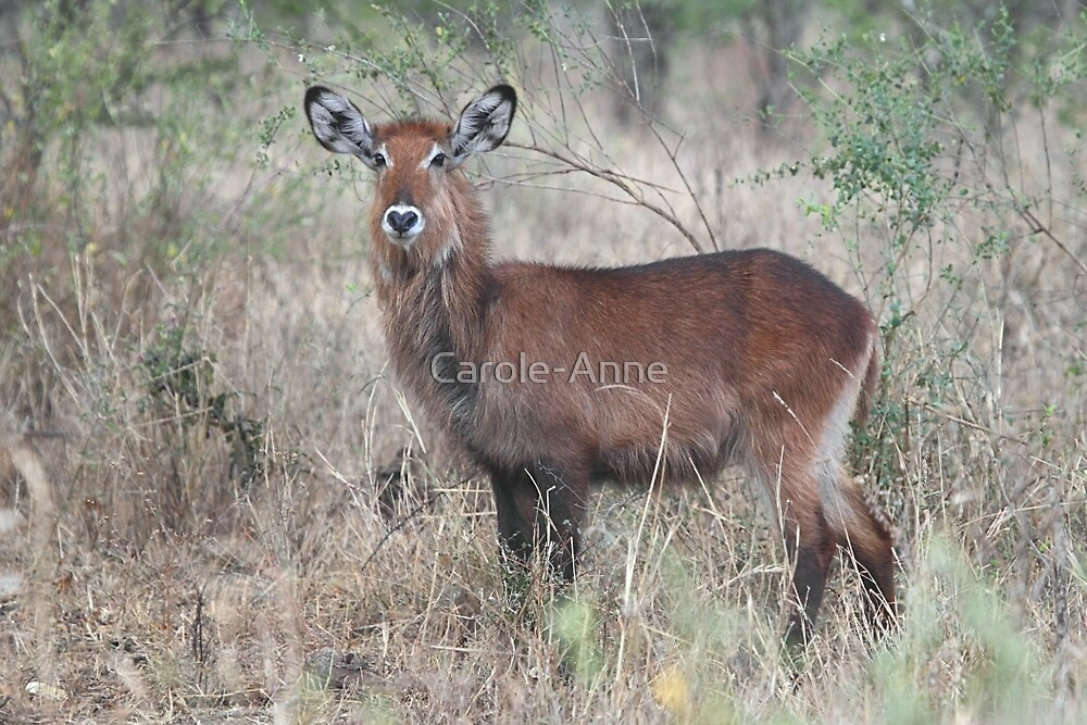Defassa Waterbuck, Serengeti National Park, Tanzania.  by Carole-Anne
