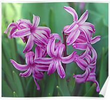 Hyacinth Blossoms Poster