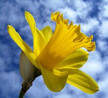 Daffodil in the clouds by CathyWitch