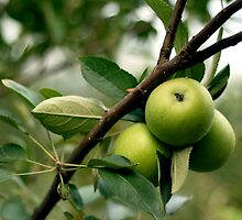 Apples in the Orchard by anjipani