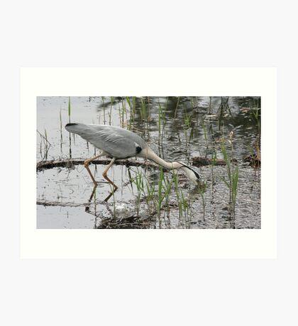 Bird foraging in marsh Art Print