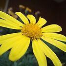 Petals of Gold by georgiegirl