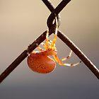 Orange Marbled Orb Weaver by elasita