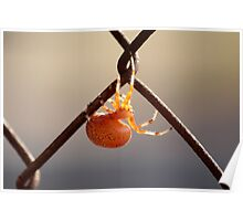 Orange Marbled Orb Weaver Poster