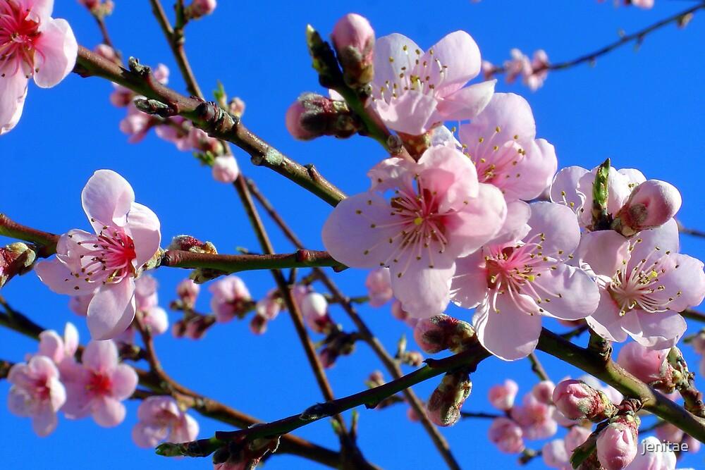 Cherry Blossom Wanaka by jenitae
