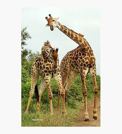 GIRAFFE BATTLES - Giraffa Camelopardalis (KAMEELPERD) Photographic Print