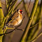 Goldfinch by peaky40