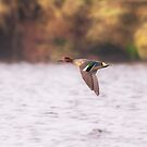 A Teal Duck by peaky40