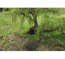 Willow Tree Now Deceased  Photographic Print