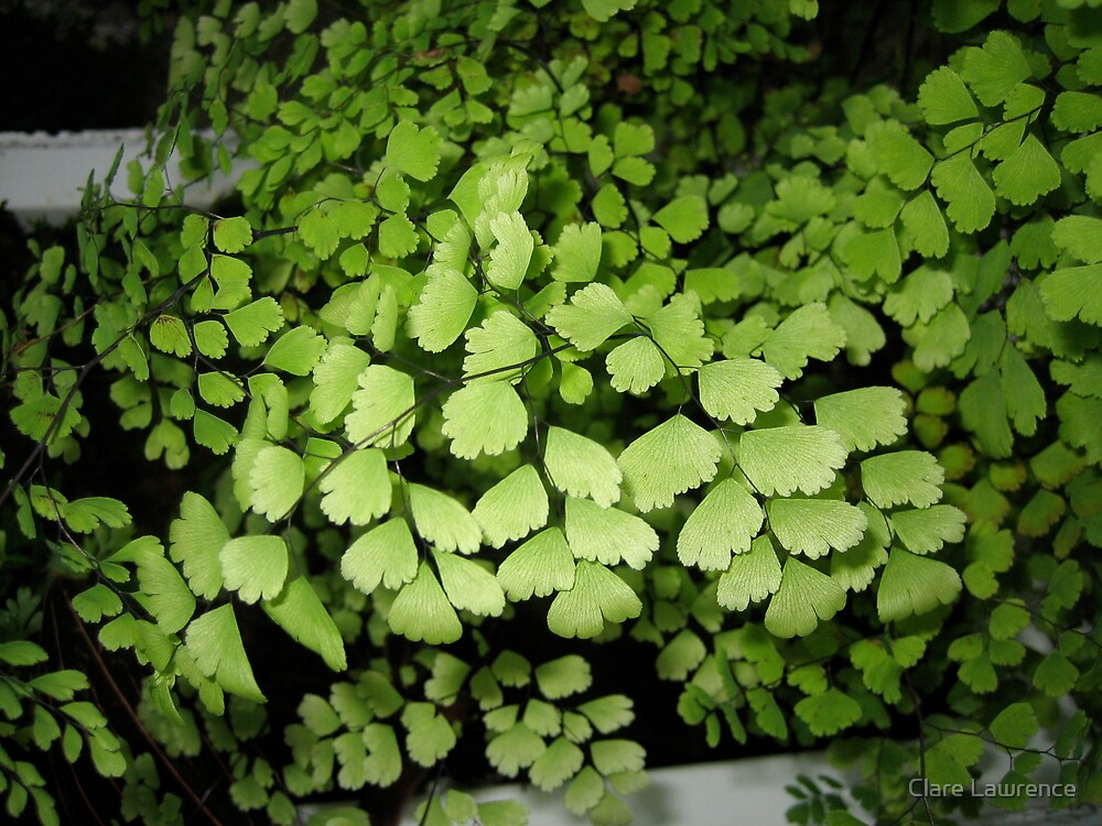 fern by Clare Lawrence