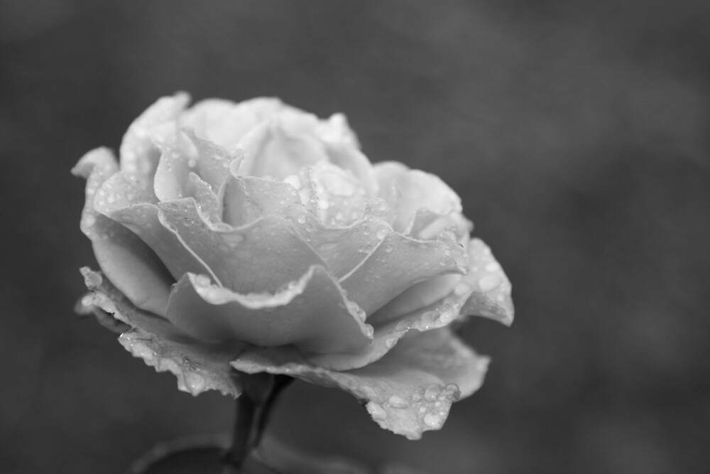 Blue Moon Rose (black & white) by Renee Driscoll