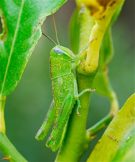Baby Green Hopper by Penny Smith