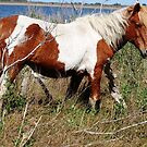 """Painted Beauty"" Wild Horse, Assateague Island by Sandy O'Toole"