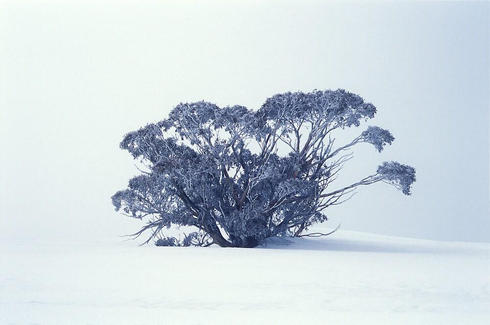 Snow Gum on White by John Barratt