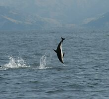 Dusky Dolphin at Play  by amanwithapan