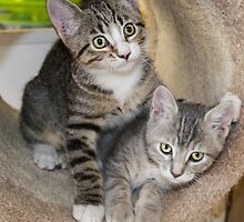 Tabby Kitten Cuties by Peggy Franz Animal and Rescue Photography