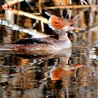 Female Hooded Merganser by Larry Trupp