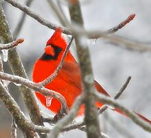 Red Northern Cardinal Birds by PeggyFranzs