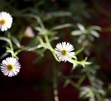 White Flowers by anjipani