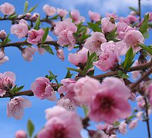 Bee in the Blossoms by anjipani