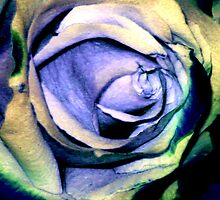 blue rose by phillipa