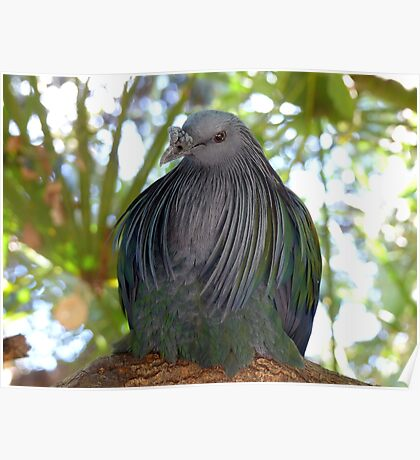 I Have A Designer Shawl - Nicobar Pigeon - South Africa Poster